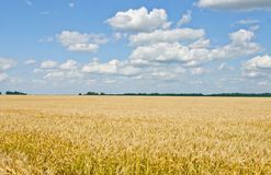Wheat field and blue sky with clouds. Royalty Free Stock Image