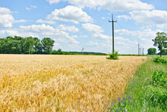 Wheat field and blue sky with clouds. Royalty Free Stock Photo