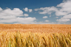 Wheat field and blue sky with clouds Royalty Free Stock Image