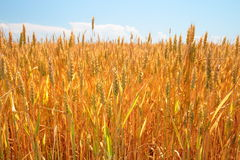 Wheat field and blue sky. Golden ripe wheat field and blue sky Royalty Free Stock Photos