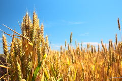 Wheat field and blue sky Royalty Free Stock Image