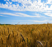 Wheat field and blue sky Royalty Free Stock Photography