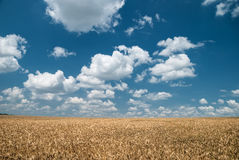 Wheat field and blue sky landscape Stock Image