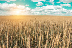 Wheat field and blue sky with picturesque clouds Stock Photo