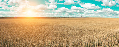Wheat field and blue sky with picturesque clouds Stock Images