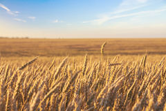 Wheat field and blue sky with picturesque clouds at sunset. Royalty Free Stock Image