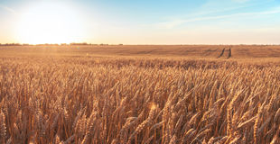 Wheat field and blue sky with picturesque clouds at sunset. Stock Images