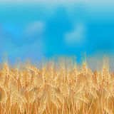 Wheat field with the blue sky Stock Photography