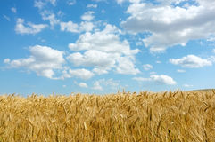 Wheat  field. With blue sky with scattered clouds Stock Images