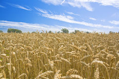 Wheat field and blue sky with some Royalty Free Stock Image