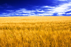 Wheat field and blue sky with some clouds stock photo