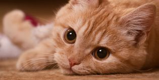 Red cat close up stock images