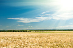 Wheat field and blue sky summer landscape Stock Images