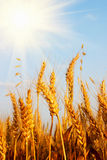Wheat field and blue sky with sun Royalty Free Stock Photos