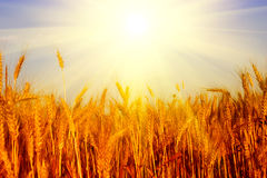 Wheat field and blue sky with sun Stock Photography
