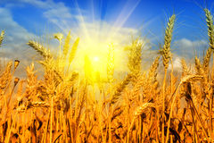 Wheat field and blue sky with sun Stock Photos