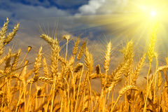 Wheat field and blue sky with sun Royalty Free Stock Images