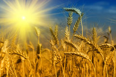 Wheat field and blue sky with sun Stock Image