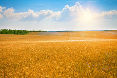 Wheat field. With blue sky with sun and clouds stock image