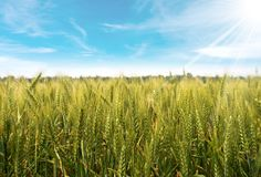 Wheat Field with Blue Sky and Sun Rays Royalty Free Stock Photography