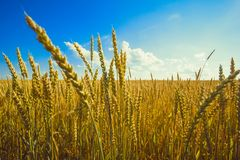 Wheat field. Blue sky, sunny day royalty free stock images