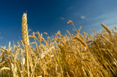 Wheat field and blue sky on sunny summer day Stock Photography