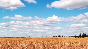 Wheat field and blue sky timelapse stock video