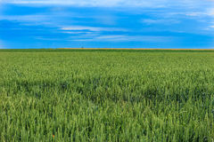 Wheat field and the blue sky Royalty Free Stock Image