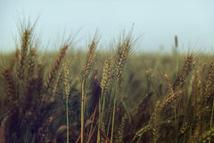 Wheat field and blue sky - vintage. Royalty Free Stock Image
