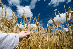 Wheat field in blue summer sky Stock Photos