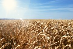 Wheat field with blue sunny sky royalty free stock photo