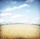 Wheat field and bly sky. Royalty Free Stock Photo