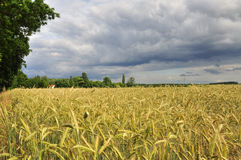 Wheat field in Brandenburg (Germany) by stormy weather Stock Photo