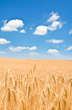 Wheat field on the bright  day Royalty Free Stock Image