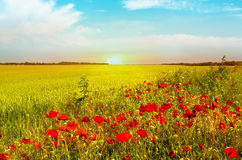 Wheat field of bright red poppy flowers in summer. royalty free stock images