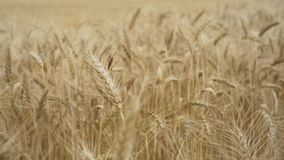 Wheat field on a bright Sunny day. Spikelets of wheat on a summer day. Yellow ears wheat sway in the wind, Ears of rye swaying in the wind and in the background stock video footage
