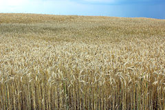 Wheat field in calm weather. On blue sky background Royalty Free Stock Photos