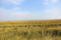 Wheat field in calm weather. On blue sky background Stock Photography