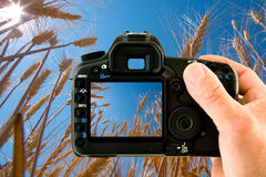 Wheat field through camera. View of a wheat field through a camera held by a masculine hand Royalty Free Stock Images
