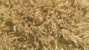 Wheat field. The camera moves over the wheat field, from the screws of the quadrocopter the ears spin stock video