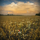 Wheat field with camomiles Stock Image