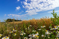 Wheat and field of camomiles Stock Photography
