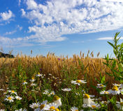 Wheat and field of camomiles Stock Image