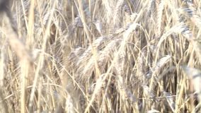 Wheat field caressed by wind crane shot stock video footage