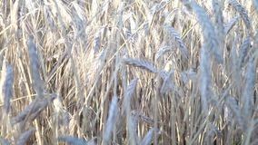 Wheat field caressed by wind crane stock footage