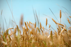 Wheat field and cereal grain against blue skies Stock Photos