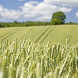 Wheat field, cereal plant. Royalty Free Stock Images