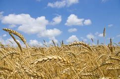 Wheat field. cereals. harvest on an agricultural field. agrarian sector of production.  Royalty Free Stock Photography