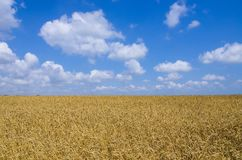 Wheat field. cereals. harvest on an agricultural field. agrarian sector of production.  Royalty Free Stock Photos
