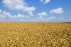 Wheat field. cereals. harvest on an agricultural field. agrarian sector of production.  Royalty Free Stock Photo
